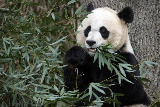 """旅美大熊猫""""美香""""可能怀孕"""