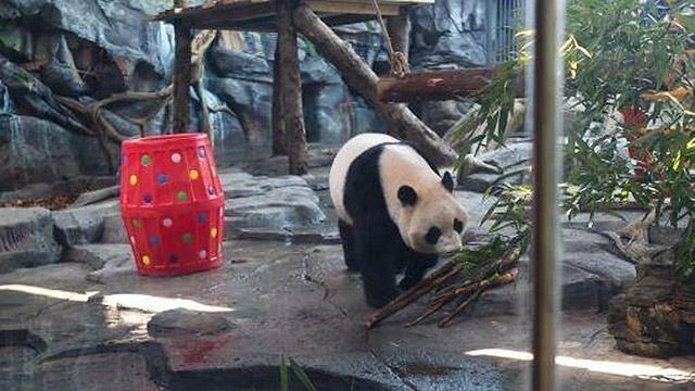 """大熊猫""""春俏""""在武汉度过4岁生日"""