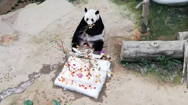 马来西亚国家动物园为大熊猫庆祝13岁生日