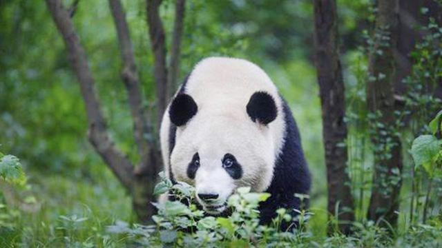 四川雅安发现野生大熊猫在树上休憩