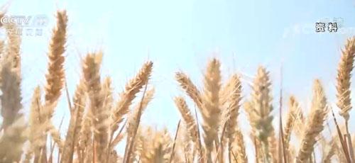 国家粮食和物资储备局:夏粮生产形势向好 收购准备就绪