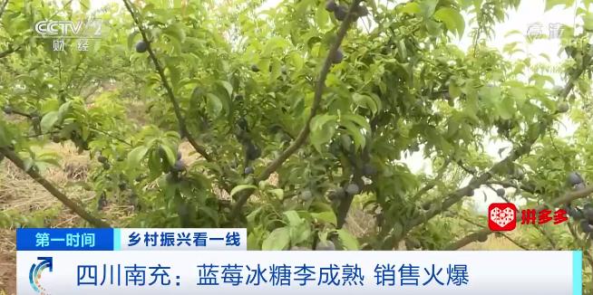 """四川南充:蓝莓冰糖李成当地增收致富的""""金果子"""""""