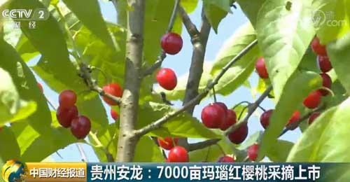 贵州安龙:7000亩玛瑙红樱桃采摘上市