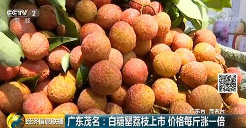 广东茂名:白糖罂荔枝上市 价格每斤涨一倍