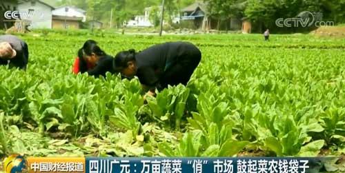 """四川广元:万亩蔬菜""""俏""""市场 鼓起菜农钱袋子"""