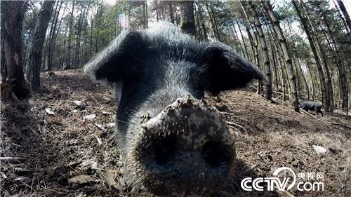[致富经]缺耳朵 断尾巴 他把破了相的猪卖高价 20190528