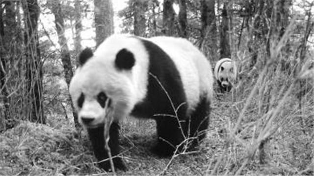 野生大熊猫图
