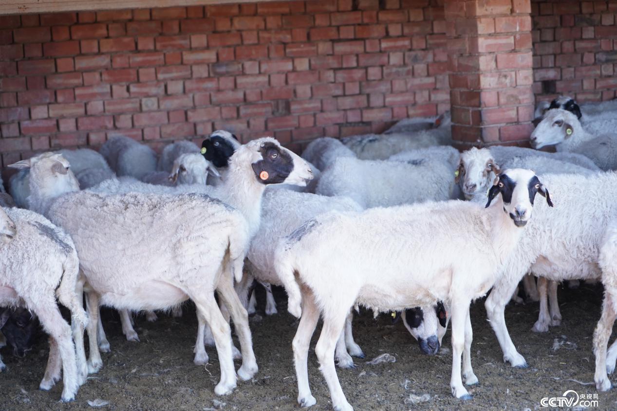 盐池滩羊养殖基地