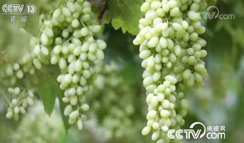 新疆鄯善:葡萄熟了 采摘期七月初至八月底