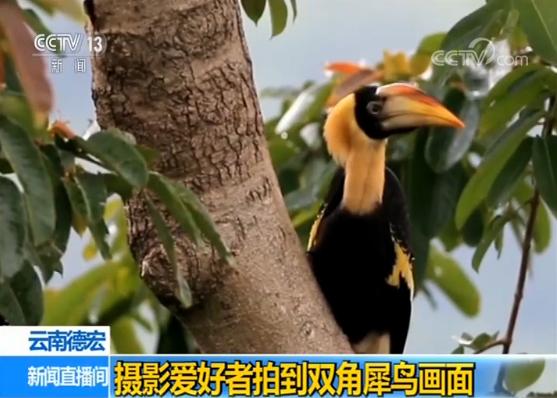 云南德宏摄影爱好者拍到双角犀鸟画面