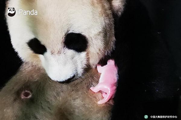 """大熊猫""""草草""""产仔"""