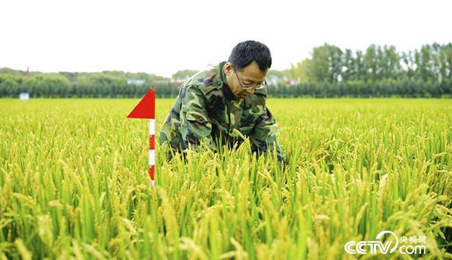 金立军在试验田中察看水稻长势。