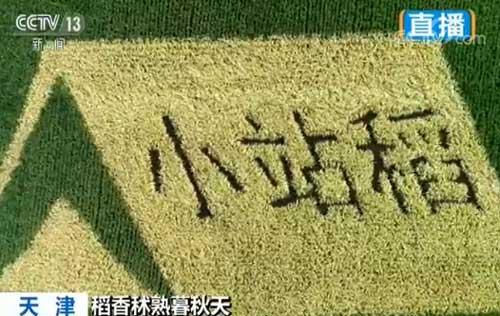 天津:小站古稻银粒香 打造生态旅游区