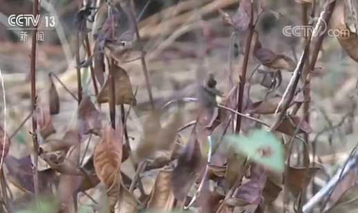 江西永丰:晴热高温致干旱 部分茶山受影响
