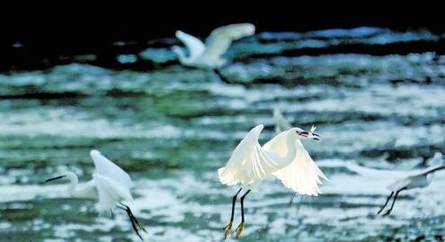 白鹭在水面上觅食。(记者黄少毅摄)