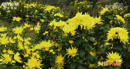 贵州德江:500亩金丝黄菊盛开 品质优异供不应求