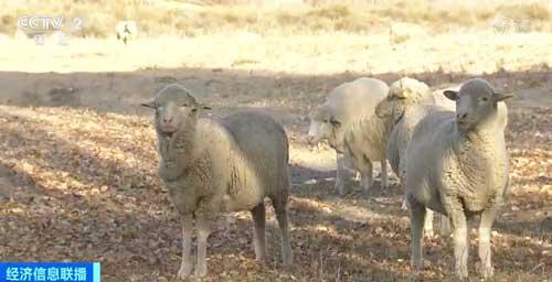 内蒙古:羊肉供应充足 价格不会大涨
