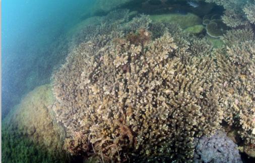 霜鹿角珊瑚主导的造礁石珊瑚群落。