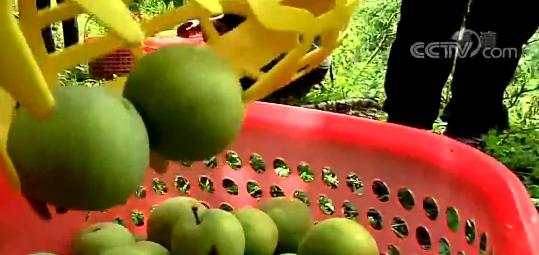 贵州镇宁16万亩蜂糖李陆续成熟 铺就当地农民致富路