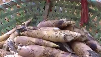 浙江德清早园笋新鲜上市 线上销售平均每天3000斤左右