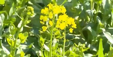 安徽芜湖:菜苔采收正当时 质优价好助农增收