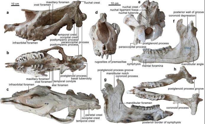 甘肃临夏发现巨犀化石:有4头大象那么重,曾迁徙穿越青藏高原插图(1)