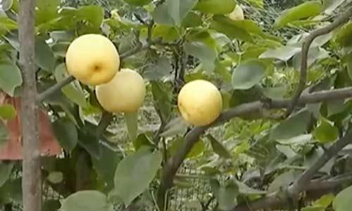 四川泸州:满树挂上黄金果 助力农户增收