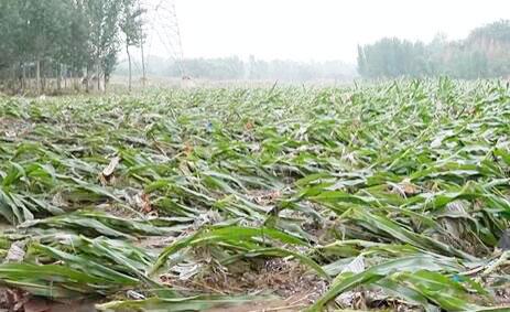 河南新密:农田、菜棚受灾严重 当地政府积极指导救灾