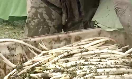 湖北:藕带迎丰收 每亩收入过万元