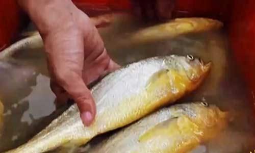 突破传统养殖模式 大黄鱼重新回到人们的餐桌
