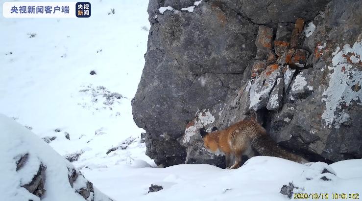 雪中精灵——赤狐 出没于王朗国家级自然保护区!