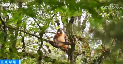 四川雅安:成群川金丝猴毛发光亮身体壮