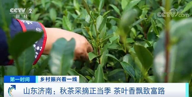 山东济南:秋茶采摘正当季 茶叶香飘致富路