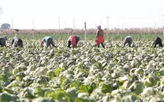 大白菜产量超6.5亿公斤 这里冬储菜集中收获 增产增收